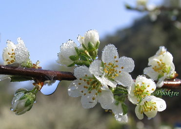 plum flowers with early morning dew.